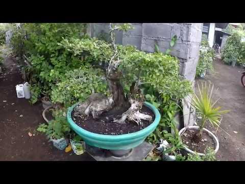 tanaman-bonsai-//-inspirasi-membuat-bonsai