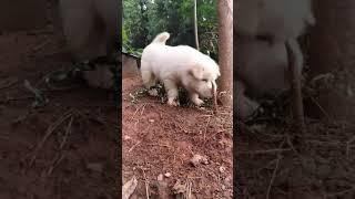 它长大了能追得野猪不要不要的。