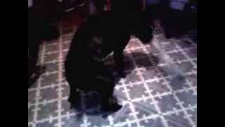 Crazy Dog Boxer X Bulldog