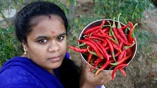 Fresh Organic Red Chilli Chutney -Traditional Way Of Cooking - Village Food