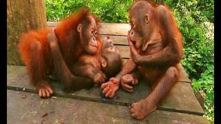 Repeat youtube video Little baby orangutans get scared