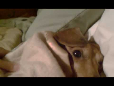 Grumpy Dog doesn't want to get out of bed