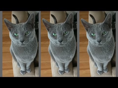 Russian Blue Lena stalks me for treats