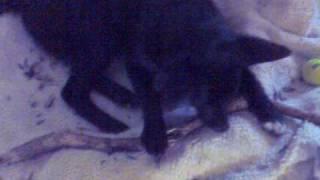 Ragdoll Kitten And Border Collie X German Shepherd Mix Puppy Share Same Stick