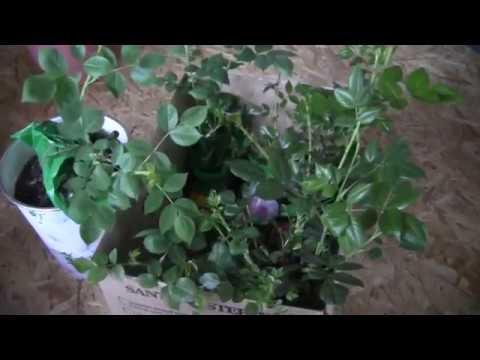 Спасаю саженцы роз Как сохранить розы до высадки в открытый грунт