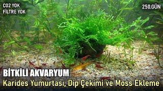 Download CO'siz Filtresiz Bitkili Akvaryum - Karides Yumurtası, Dip Çekimi ve Moss Ekleme - 250.Gün