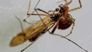 Macro Video: Spider Eating Crane Fly  In Slow Motion!