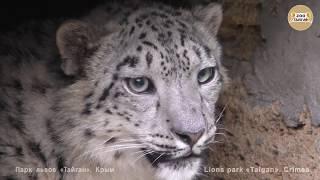 Долгожданная встреча с барсом. Тайган   Long-awaited meeting with the snow leopard. Taigan