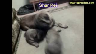 Sharpei, Puppies For Sale, In, Lubbock, Texas, Tx, Waco, County, Garland, Irving