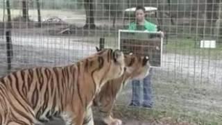 большие коты и зеркало
