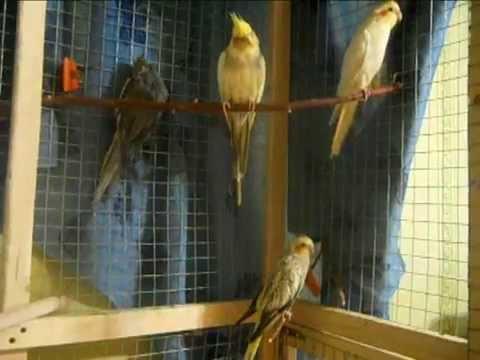 Попугай заболел. Что делать. Болезни птиц. Я НЕ  ЗНАЮ КАК ЛЕЧИТЬ