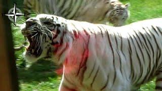 [HD] Zoo Safari Borysew, atak tygrysa, pokazy karmienia lwów, pumy, rysia, serwala, tapira