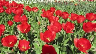 Выставка тюльпанов в Никитском ботаническом саду.