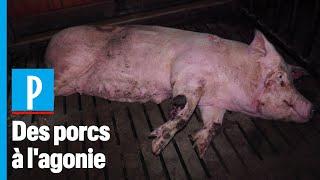 Bien-être animal : L214 épingle un élevage de porcs Herta «Préférence»