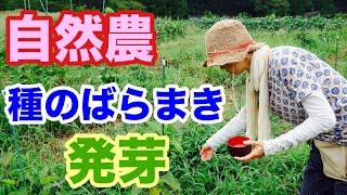 【ややマニア向け】自然農法といえば種のばらまき、、、をイメージする人もいるかと思います。 草の上からパラパラと捲いて、そして、草を刈...