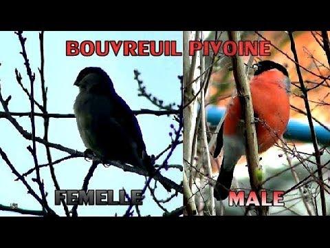 Bouvreuil Pivoine mâle et femelle superposés à côté