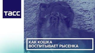 Как кошка воспитывает рысенка