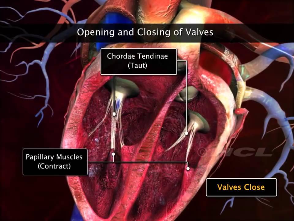 Anatomia e fisiologia del cuore (sistema circolatorio) - Herz ...