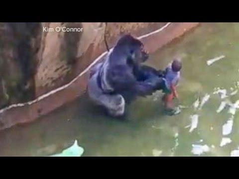 Gorilla Killed After Child Falls Into Zoo Habitat