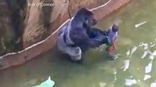 Download Video Gorilla Killed After Child Falls Into Zoo Habitat MP3 3GP MP4