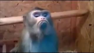 Video Monyet Sadang Galau download MP3, 3GP, MP4, WEBM, AVI, FLV Maret 2018