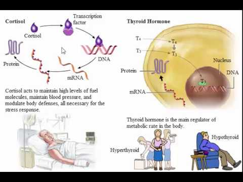 System Endocrine The Actions of Hormones on Target Cells