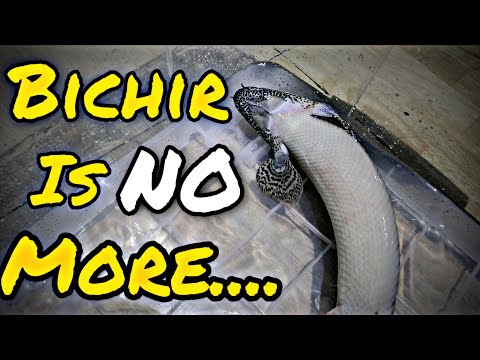 Bichir Fish Dead - 8 Years Of Friendship Gone Forever