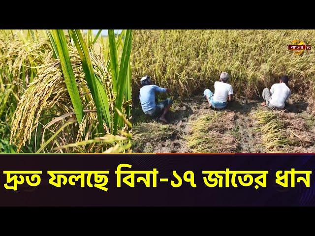ময়মনসিংহে স্থানীয় ধানের চেয়ে অনেক দ্রুতই ফলছে বিনা-১৭ জাতের ধান   Mymensingh Paddy   Bangla TV