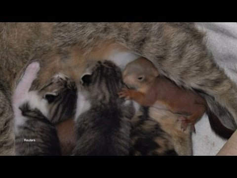 Momma Cat Adopts Orphan Squirrel Babies