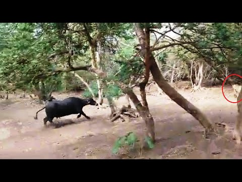WATCH UNBELIEVABLE VIDEO: Buffalo attacks on asiatic lion in Gir National Park FULL VIDEO