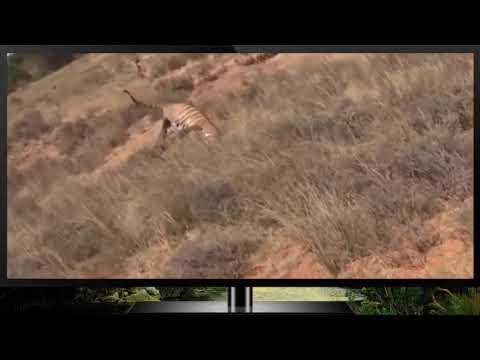 Борьба тигров за господство над территорией.