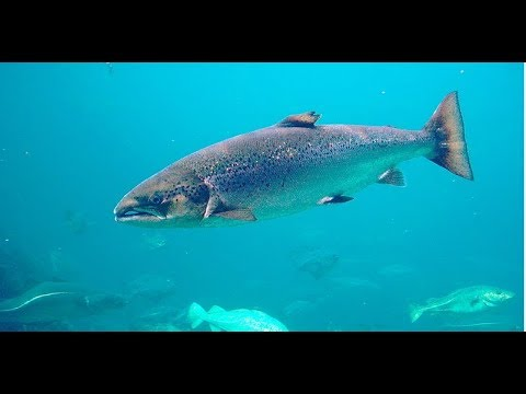 Facts: The Atlantic Salmon