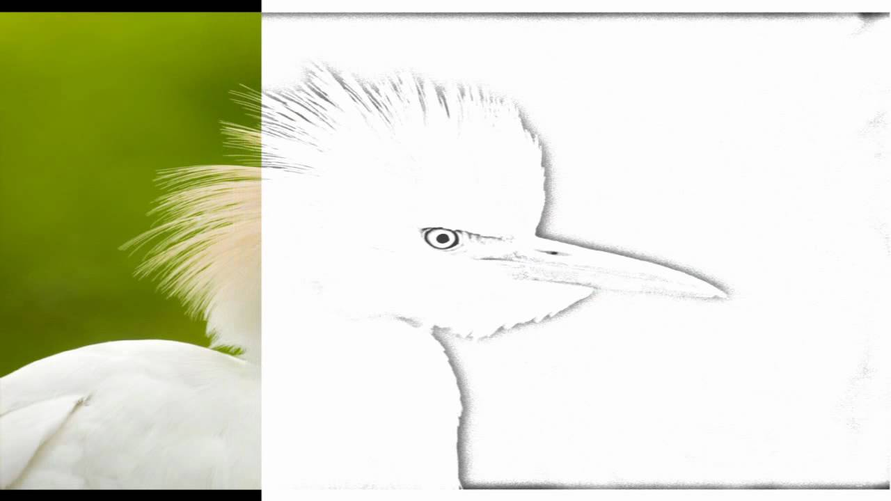 Auto Draw 2 Cattle Egret Florida