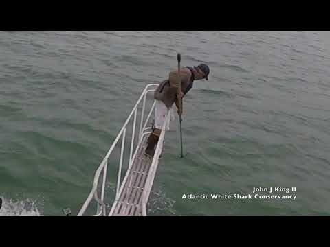 White shark surprise breach off Wellfleet, MA