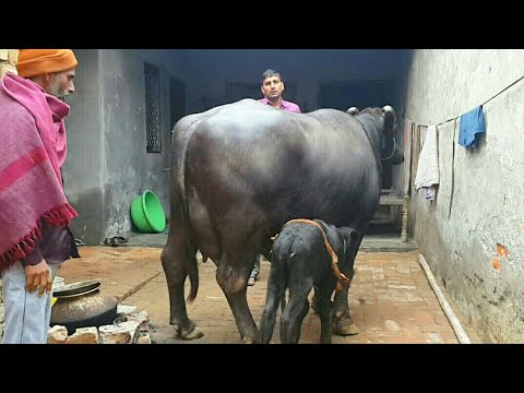 PRICE above 3.5 LAKHS - Pure Murrah(25 litres atleast) available for Buyers. (Super Udder)