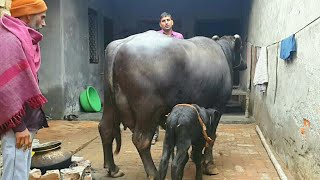 PRICE above 3.5 LAKHS - Pure Murrah(25 litres atleast) available for Buyers. (Super Udder) thumbnail
