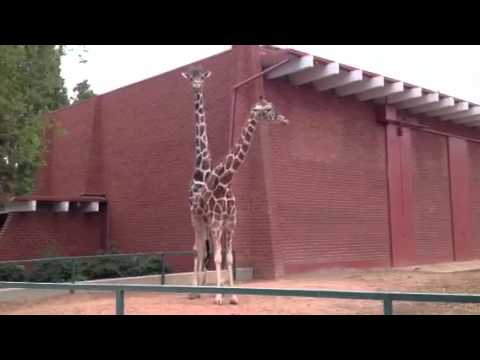 Giraffes at Denver Zoo Attempting to Make Babies - Male giraffe mounting a female - Floppycats