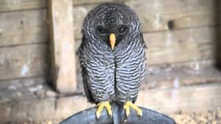 Bopping Owl