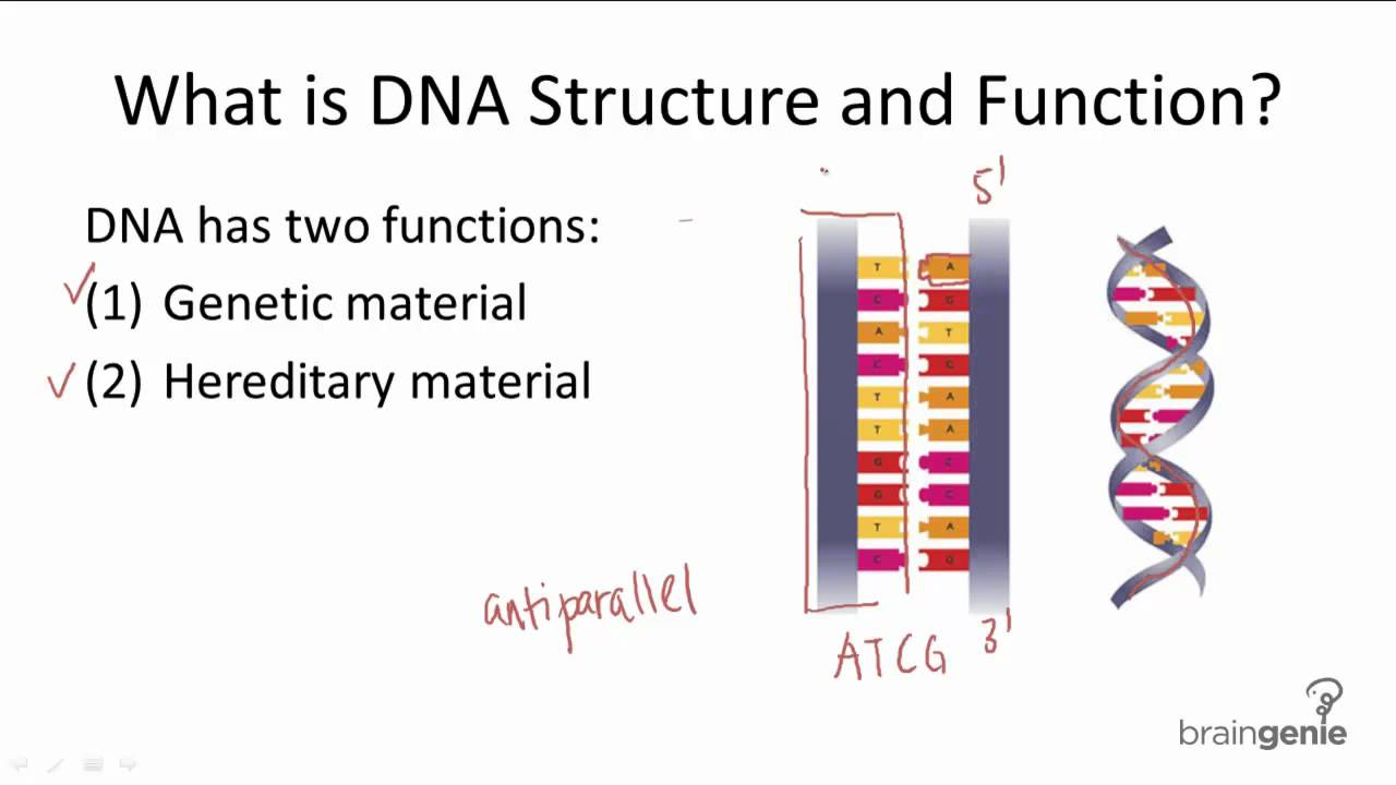 10.1 DNA Structure and Function - YouTube