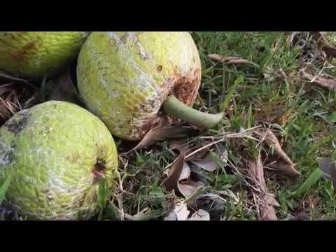 Breadfruit Harvesting