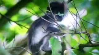 【猿を食べるチンパンジー映像】 コロブスの群れを襲い捕らえた獲物(猿)...