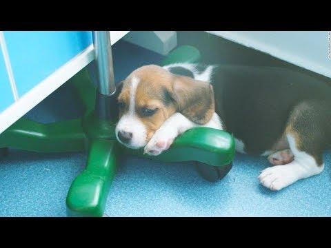 Κινεζική εταιρεία κλωνοποιεί σκύλους για να θεραπεύσει καρδιαγγειακές νόσους