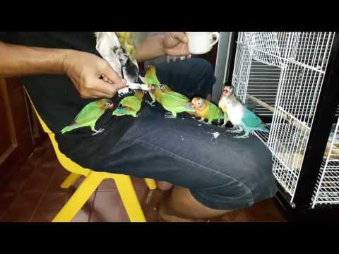 Cara HandFeeding Burung Lovebird Dengan Mudah