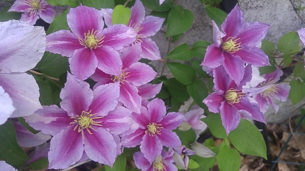 Clematis Vineclimbing Flower Youtube