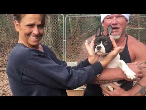 Extreme Bully puppies avail Christmas 2018