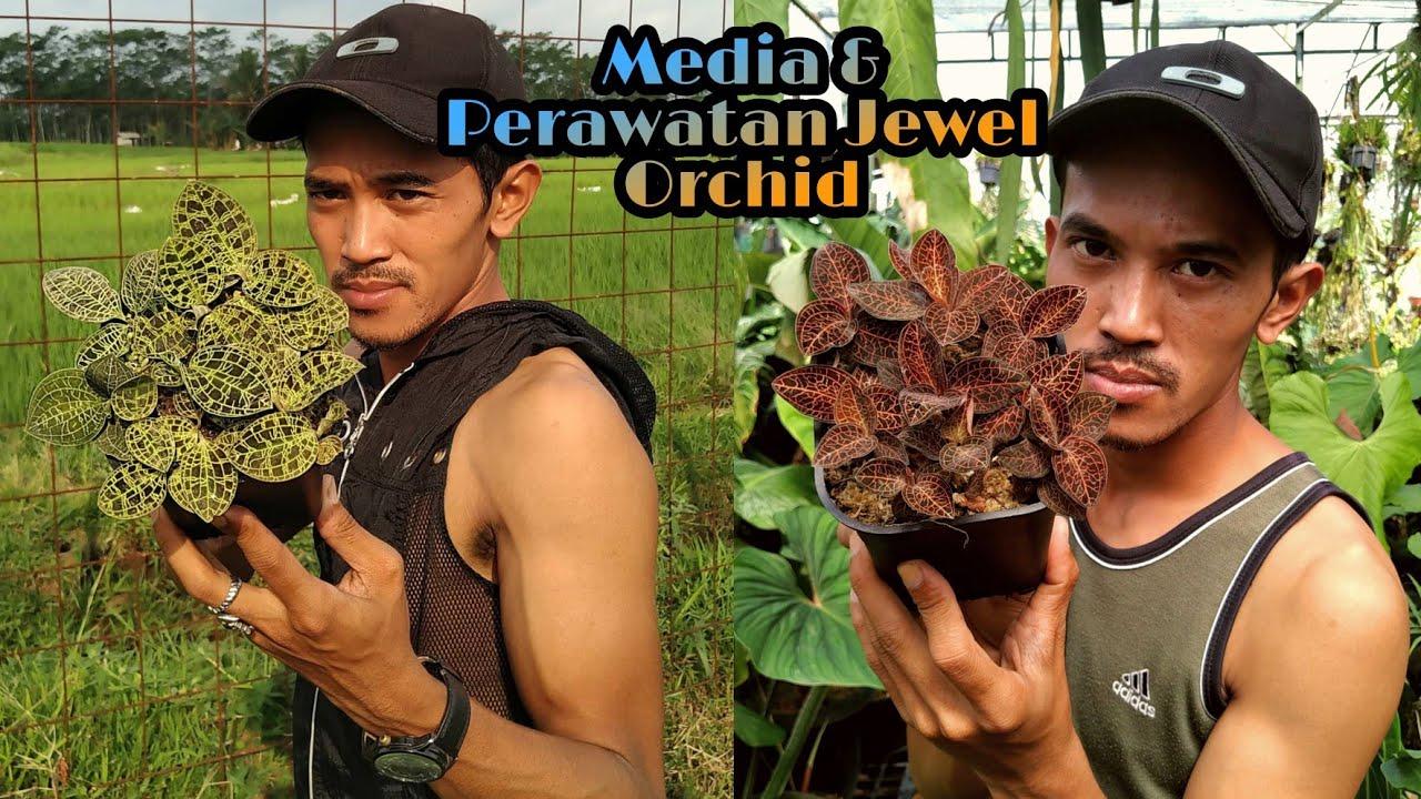 Media dan cara merawat Jewel Orchid (Anggrek Permata)
