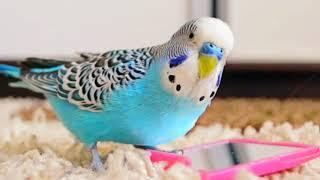Часть: 3 Болезни волнистых попугаев // Как вылечить попугая?