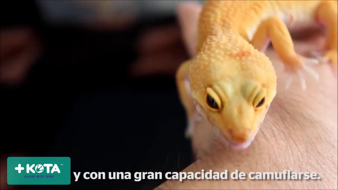 +KOTA: Curiosidades de los geckos