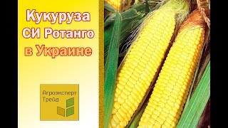 Кукуруза СИ Ротанго в Украине