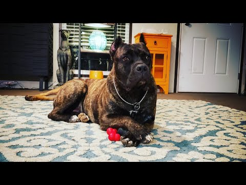 My Cane Corso Velocity rejoins the pack with a bang